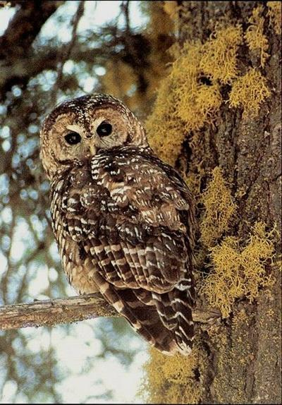 Groups sue to stop barred owl eradication
