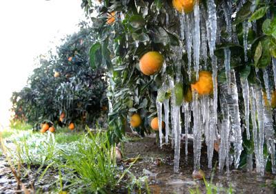 California citrus growers fight freezing temperatures