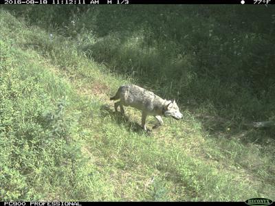 Idaho wolf