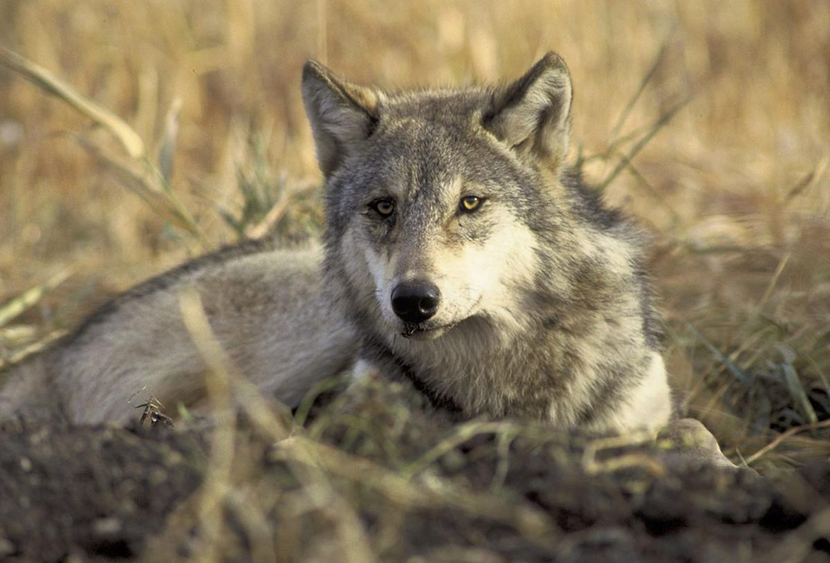 U.S. House passes bill to drop legal protections for gray wolves