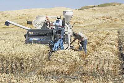 Wee combine whacks research wheat