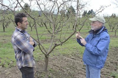 Temperature swings throw 'curveball' at SW Oregon tree fruit