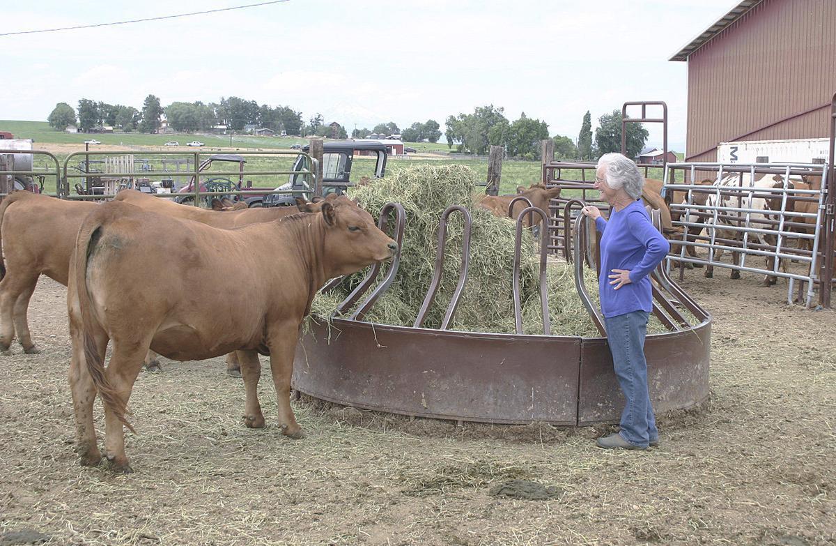 Unique cattle known for milk production, disposition