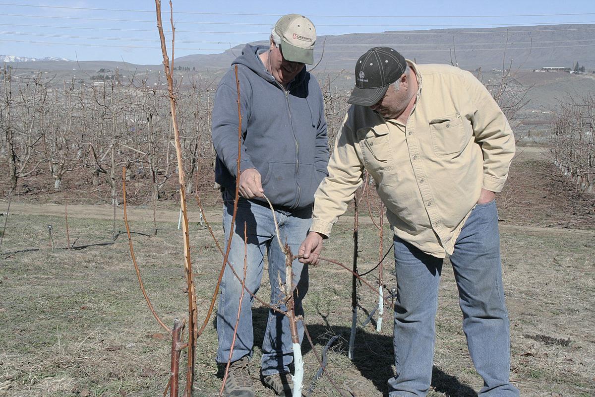 Elk damage Central Washington orchards