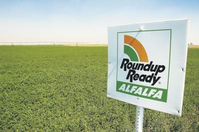 Battles remain for biotech alfalfa