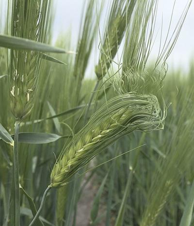 Welcome Idaho rains also raise crop disease risk