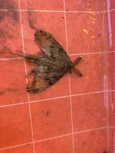 Hokkaido moth