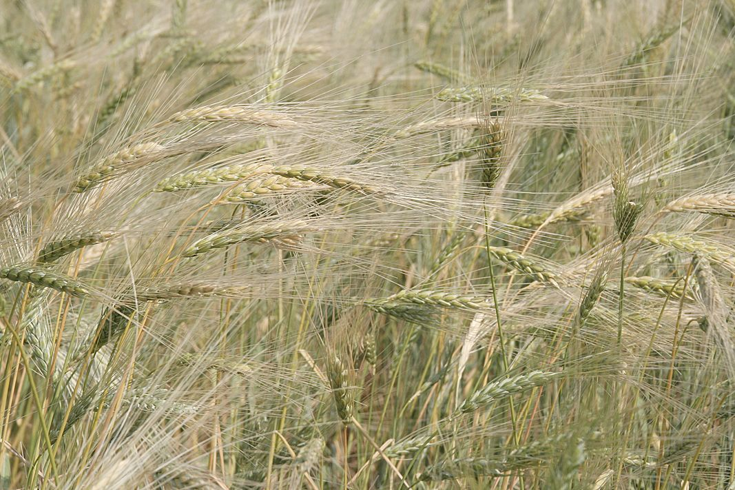 Ancient waves of grain