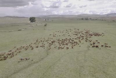 Mob grazing