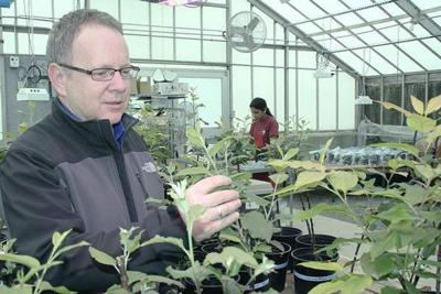 Serving replant disease a meal of mustard