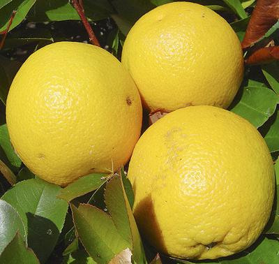 Navel orange harvest wraps up early, making way for Valencias
