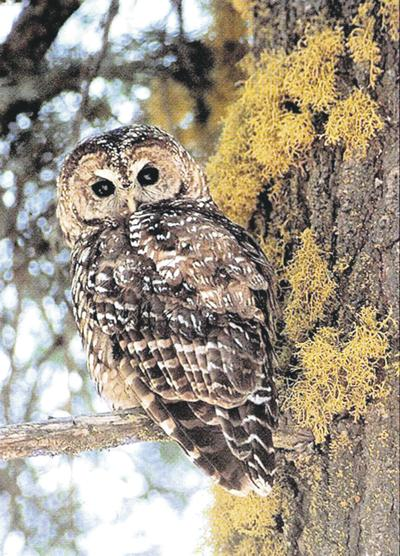 Federal judge orders revised spotted owl plan