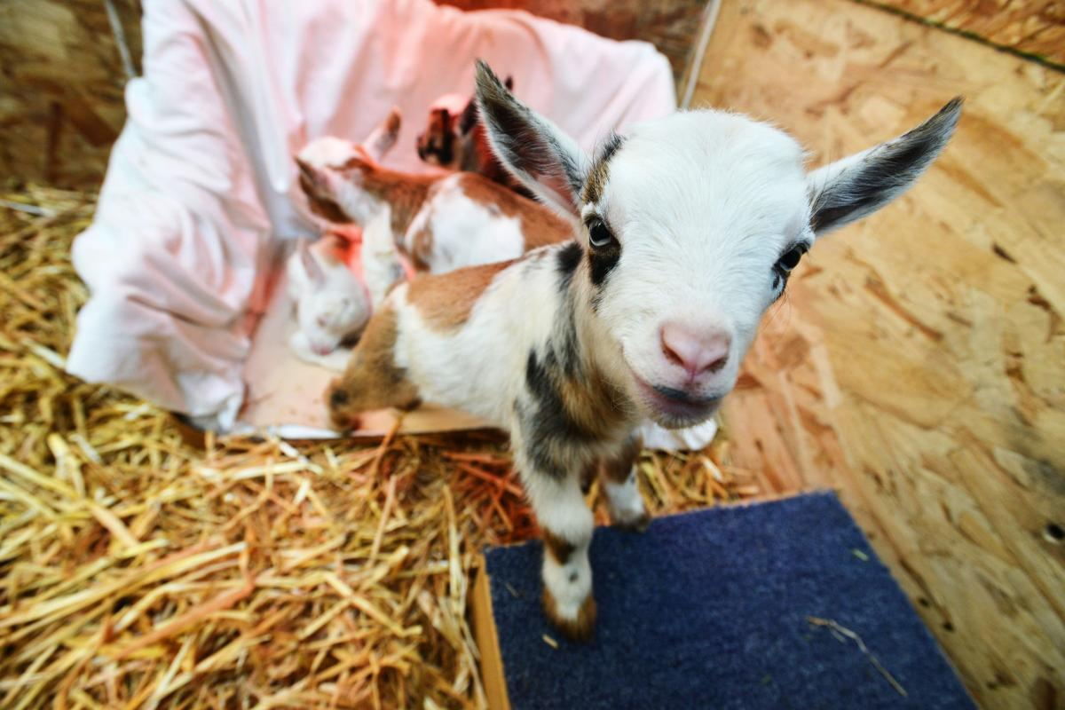 Nigerian dwarf goat gives birth to quintuplets