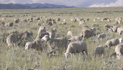 Sheep on rangeland