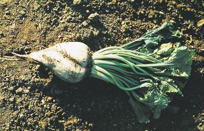 Non-GMO beet seed available