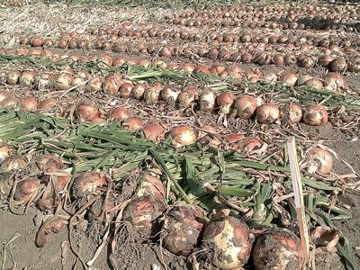 Onion quality 'excellent' as harvest crosses finish line