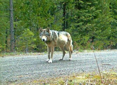 Wolf Attacks