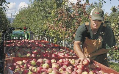 Apple sales hampered by abundant supply