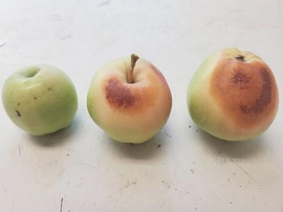 Heat-damaged apples