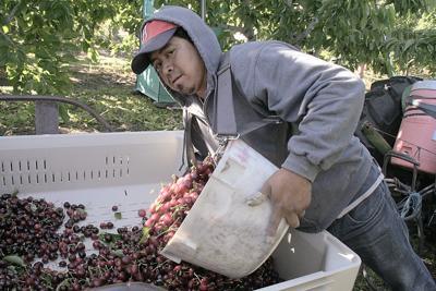 France bans U.S. cherries