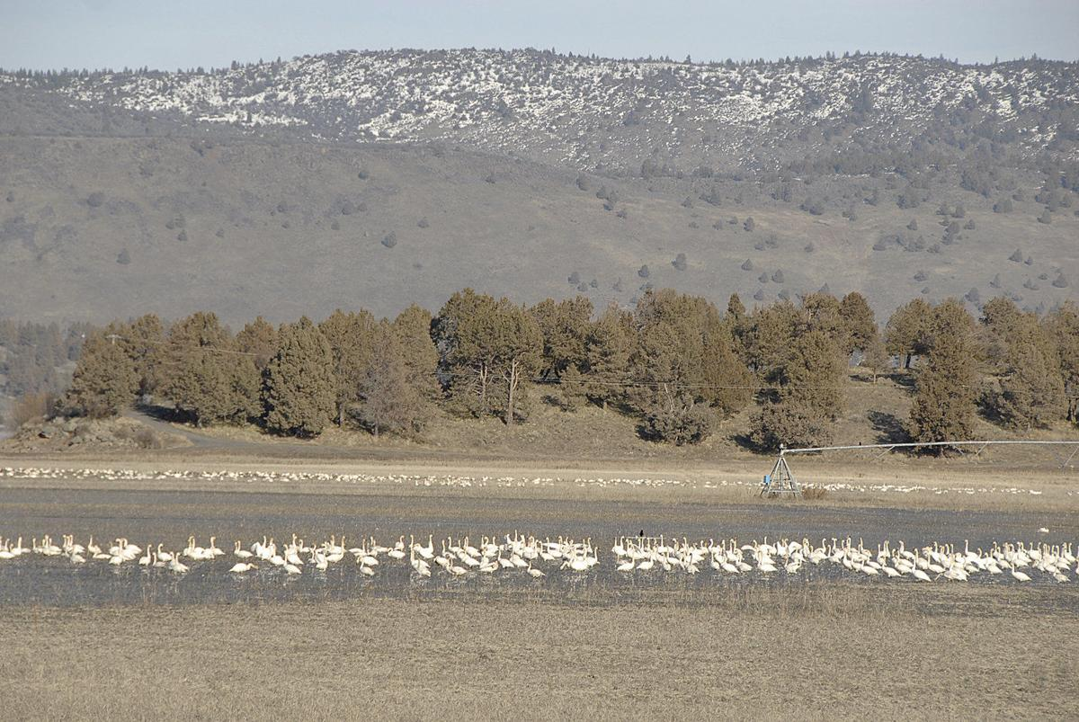 Tundra swans mix well with potato fields