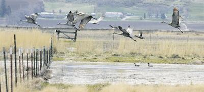 Farmers seek expanded goose hunt