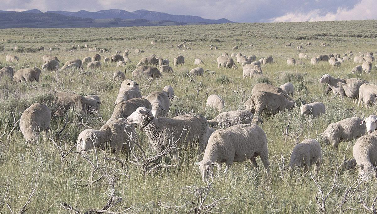Sheep on rangeland