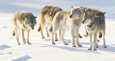 Agency mulls delisting of western Great Lakes wolves