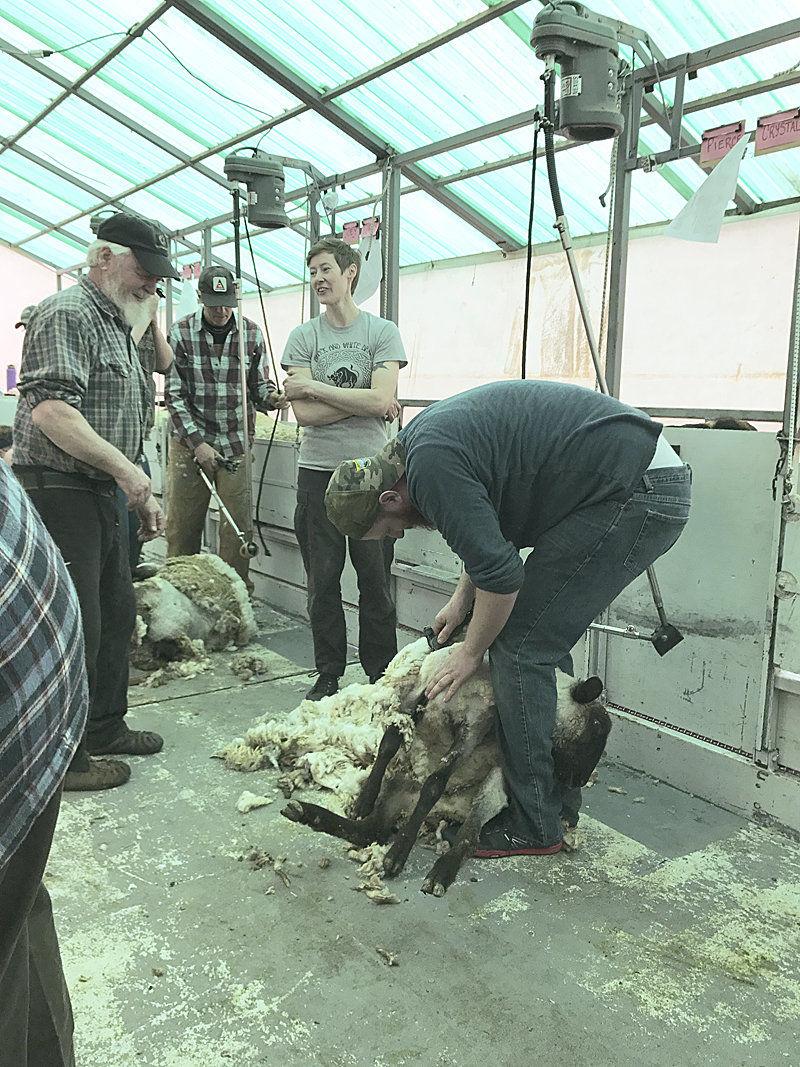 Long waiting list for sheep shearing school