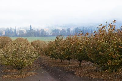SM hazelnut trees-fall 2