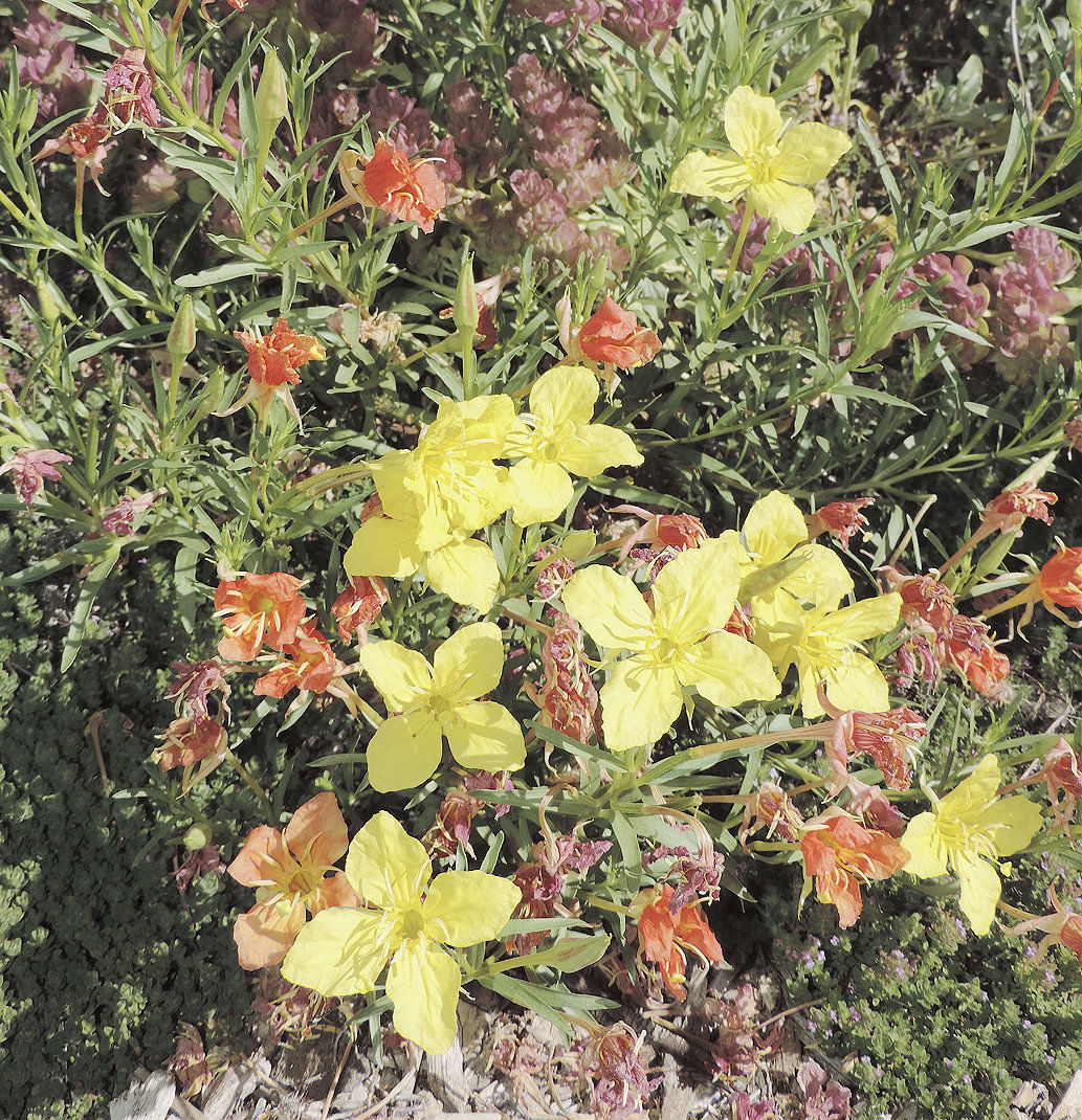 Native ornamentals flourish with little water