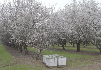 California almonds and bees