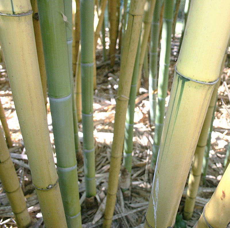 Bamboo a life-long fascination