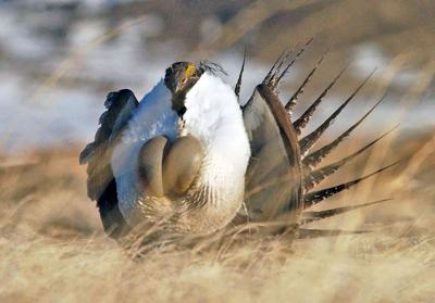 Sage grouse plan impacts some ranchers disproportionately, OCA says