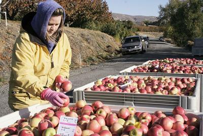 Washington apple crop steady