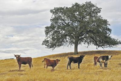 Cattle herd steady