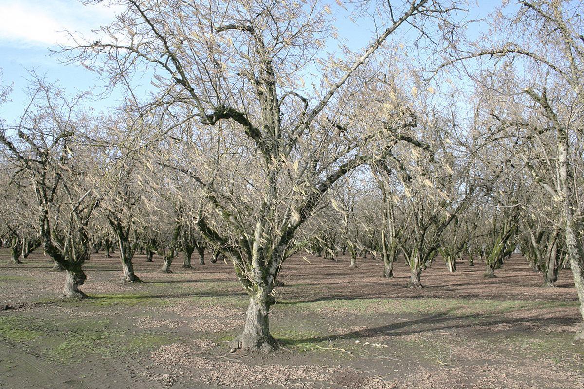 Oregon's hazelnut boom gains momentum