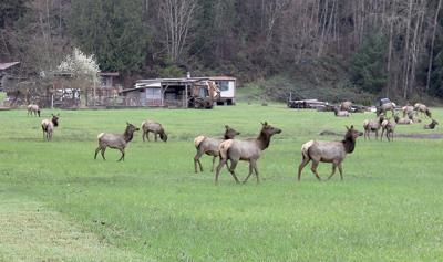Elk damage