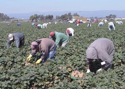 California strawberry farm