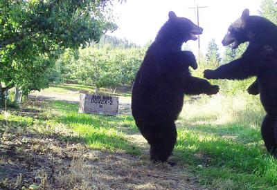 Black bears in the orchard