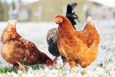 Coastal Winter Chickens