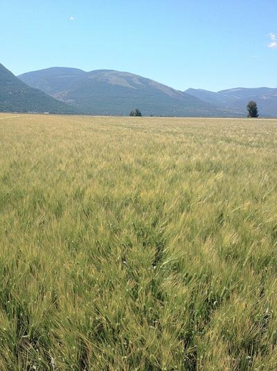 New Idaho Barley Commissioner specializes in growing food barley segment