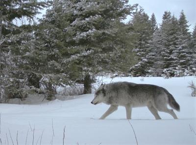 Wolf protectionsplan