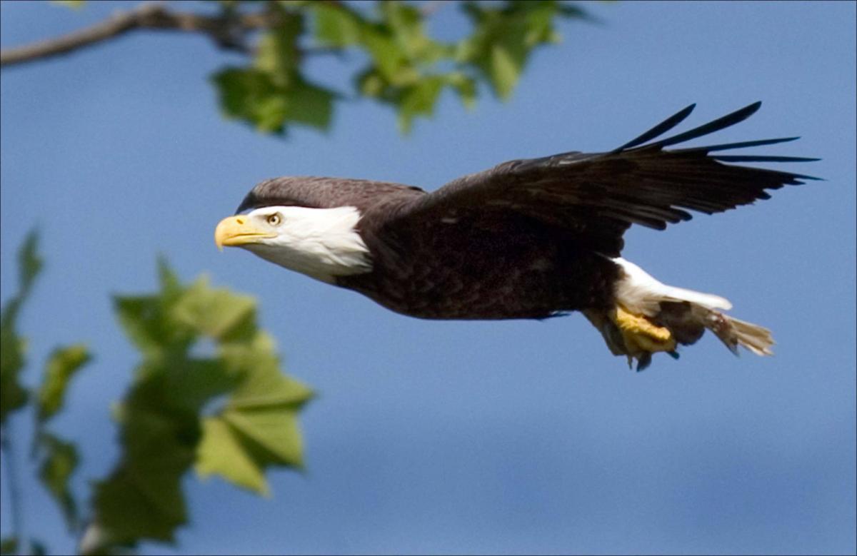 Wdfw Bald Eagles Soar Can Come Off State List Washington Capitalpress Com