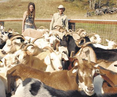 Hardy goats love wet Northwest | Ag Sectors | capitalpress com