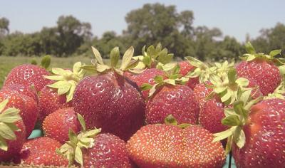 California strawberry production still on record pace