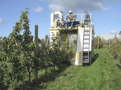 WSU developing orchard system for mechanical cider apple harvest