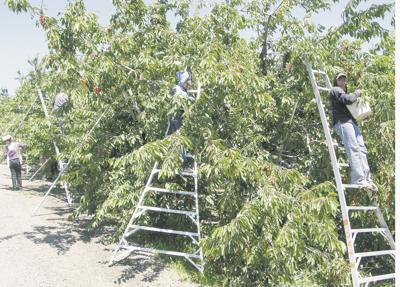 Oregon cherry harvest