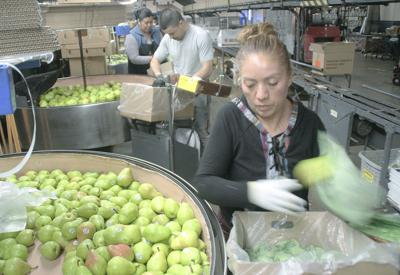 Northwest pushing large pear crop
