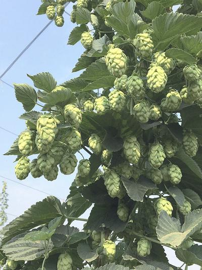 New hop cultivar emerges from public-private partnership
